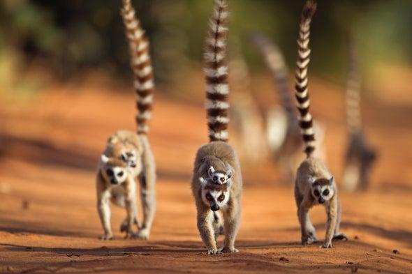 Lemur Flirting Uses Common Scents