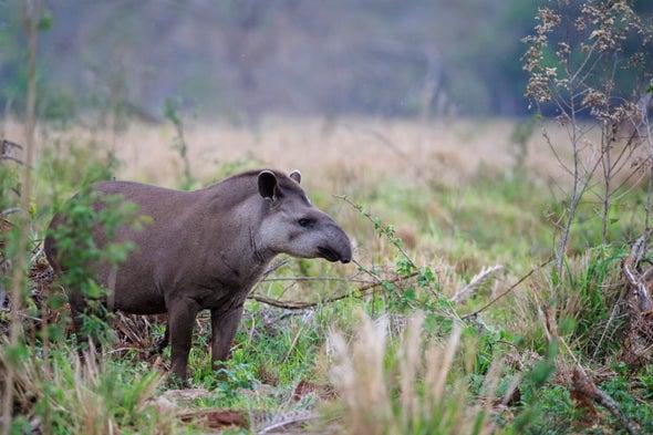 Tapirs Help Reforestation via Defecation