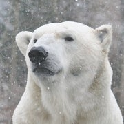 No Safe Haven for Polar Bears in Warming Arctic