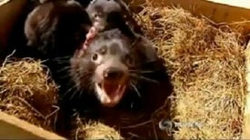 New Hope for Cancer-Plagued Tasmanian Devil