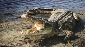 Nile Crocodiles Reported in Florida
