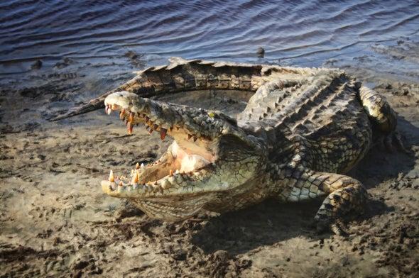 Nile Crocodiles Reported in Florida