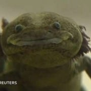 Scientists Battle to Save Mexico's Axolotl from Extinction