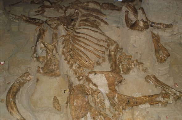 Mammoth Remains Seem Mostly Male