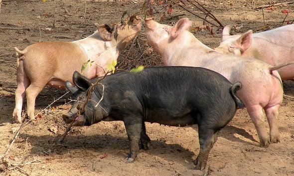 Pig Poop Fouls North Carolina Streams