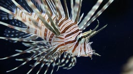 Invasive Lionfish Arrive in the Mediterranean