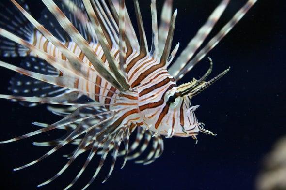 Invasive Lionfish Arrive in the Mediterranean