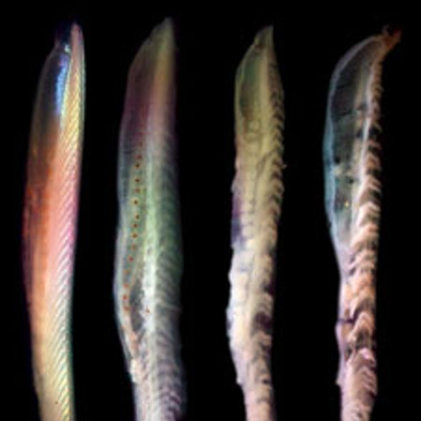 Rotting Fish Spoil Ideas about Early Life-Forms' Simplicity