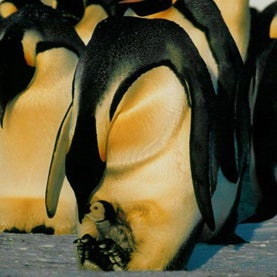 Father Nature: 8 Great, Super-Dedicated Animal Dads [Slide Show]