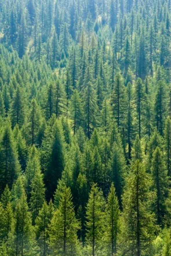 Will Tree Plantations Spur the Release of Carbon Locked in Soil?