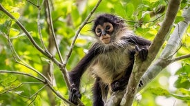 Spider Monkeys Optimize Jungle Acoustics