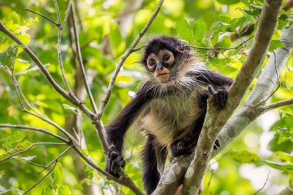 Spider Monkeys Optimize Jungle Acoustics
