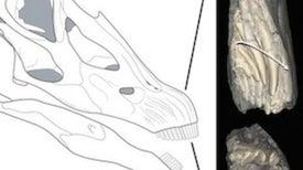 Huge Plant-Eating Dinosaur Never Ran Out of Teeth
