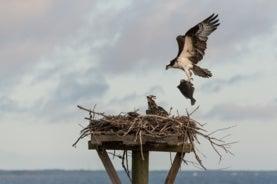 mama osprey bringing fluke to nest