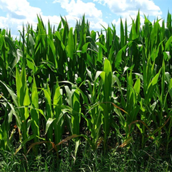 Could Dwarf Corn Improve Yields?