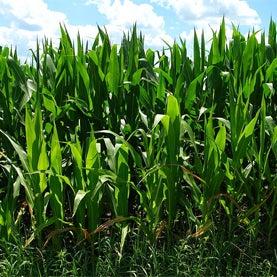agriculture, corn, yield, maize, dwarf corn, dwarf whe