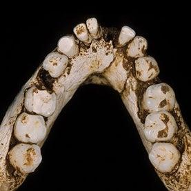 LB1 mandible