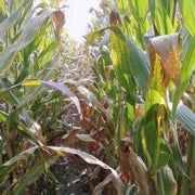 Corn Ethanol Will Not Cut Greenhouse Gas Emissions