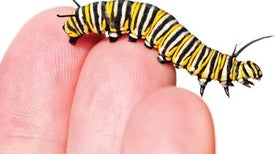 Traffic Noise Makes Caterpillars' Hearts Beat Faster