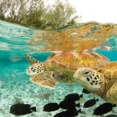 GREEN SEA TURTLE:
