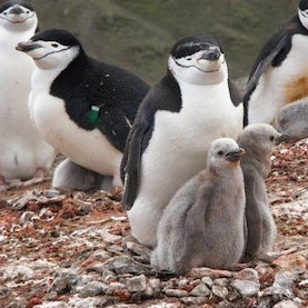 36 Percent of Chinstrap Penguins Missing from Antarctic Island