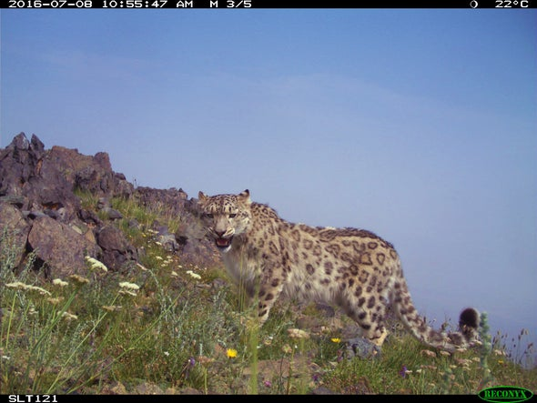 Camera Traps May Overcount Snow Leopards and Other Vulnerable Species