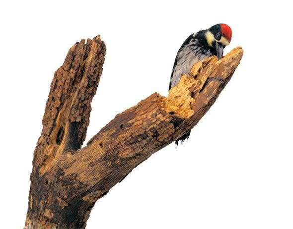 Woodpecker Head Bangs Communicate Info