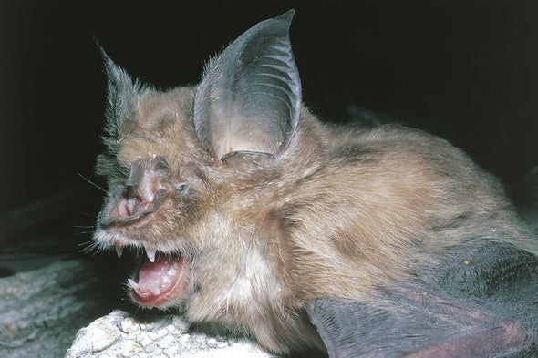 In the Wiggle of an Ear, a Surprising Insight into Bat Sonar