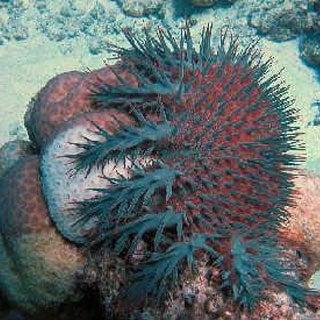 Fishing Bans May Save Corals from Killer Starfish