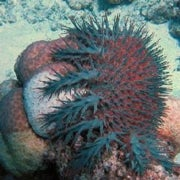 Fishing Bans May Save Corals from Killer Starfish