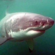 Today's Sharks: Smart, Tagged, and in Short Supply [Slide Show]