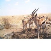 THOMSON'S GAZELLES: