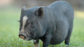 """Gene-Edited """"Micropigs"""" to Be Sold as Pets"""