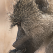 Portrait of a yellow baboon being studied by the Amboseli Baboon Research Project.