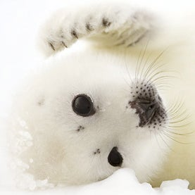 Cute Baby Harp Seal Climate Change Makes Life