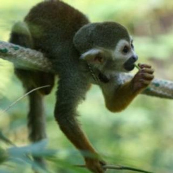 El Niño Cycles Threaten Some New World Monkey Populations