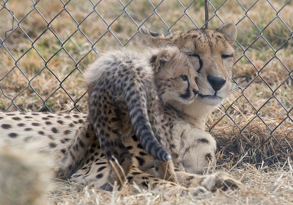 Can Assisted Reproduction Save the Cheetah? [Slide Show]