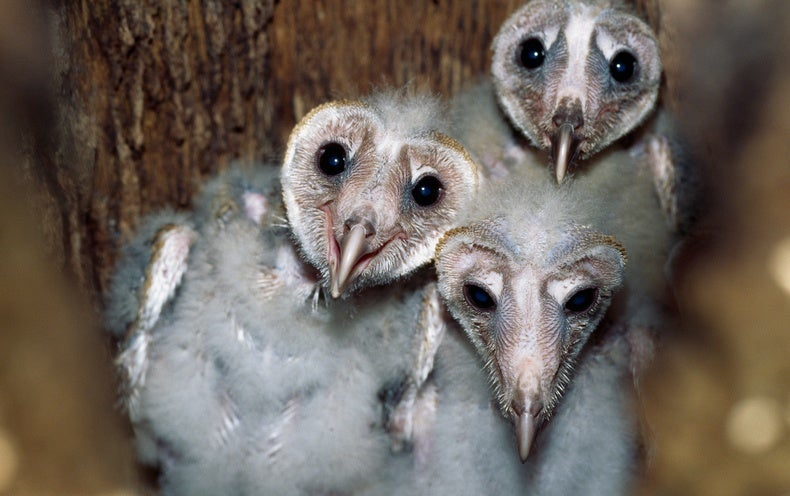 Barn Owl Babies Can Be Helpful Hatch Mates Scientific American
