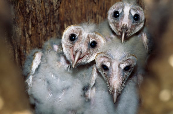 Barn Owl Babies Can Be Helpful Hatch Mates