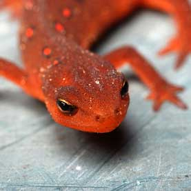 Newt Finding Might Set Back Efforts to Regrow Human Limbs
