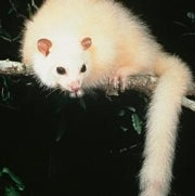 This Rare White Possum Could Soon Be a Ghostly Memory