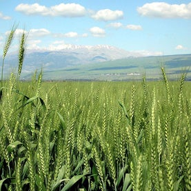 Wheat in Hula Valley, Israel