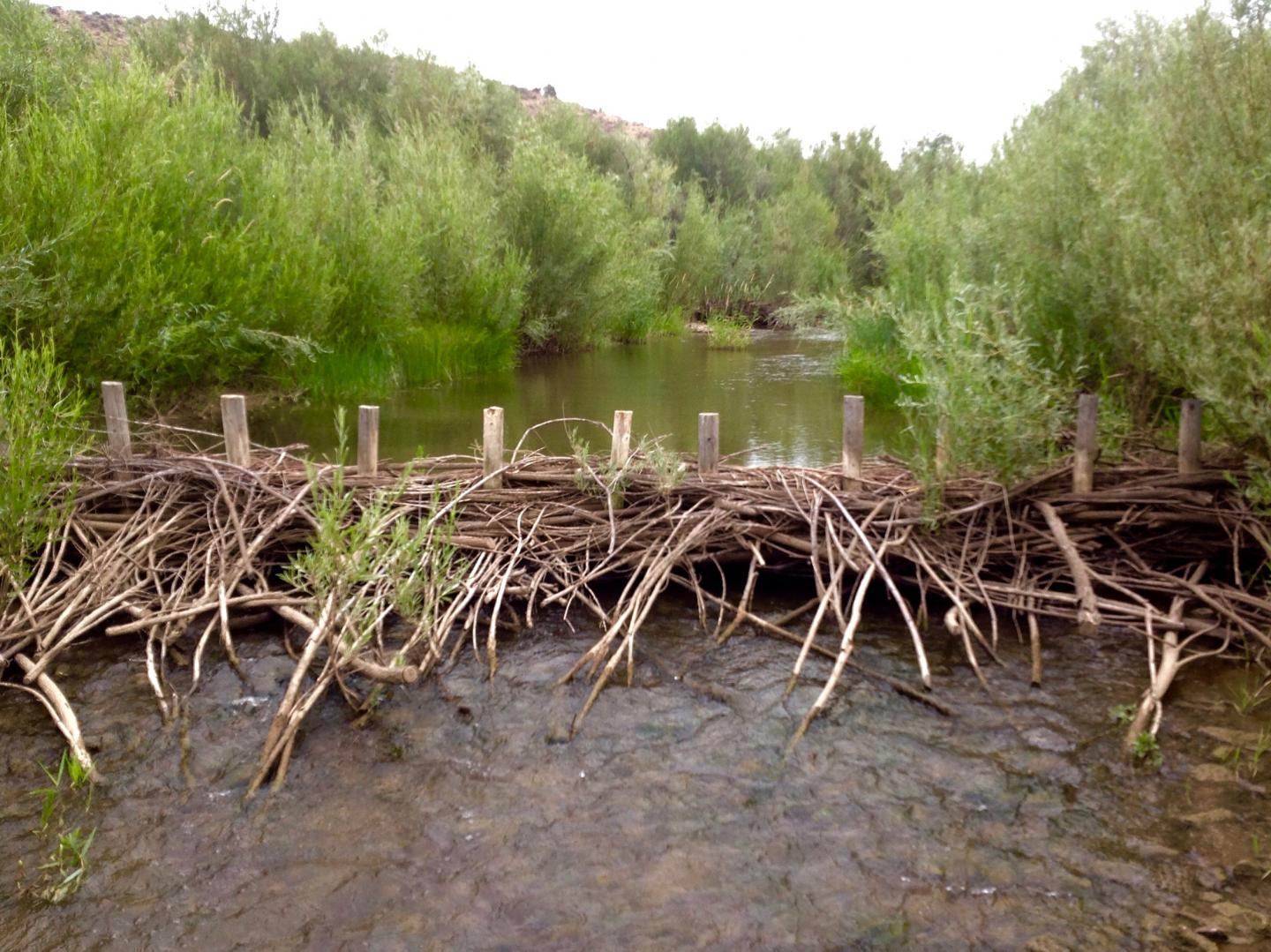 beaver dams strengthened by humans help fish rebound scientific Wood Dam beaver dams strengthened by humans help fish rebound
