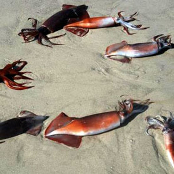 "Mystery of Mass Squid ""Suicides"" Possibly Solved"