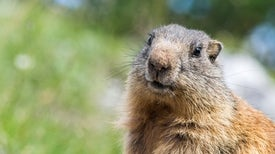 Facts about Groundhogs Other Than Their Poor Meteorology