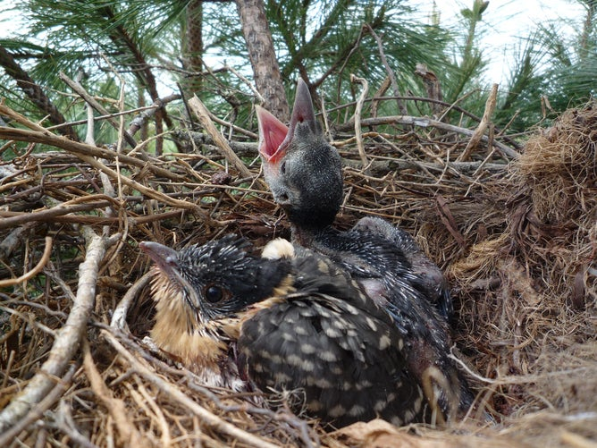 Cuckoo Chicks Bring Benefits to Nests They Parasitize
