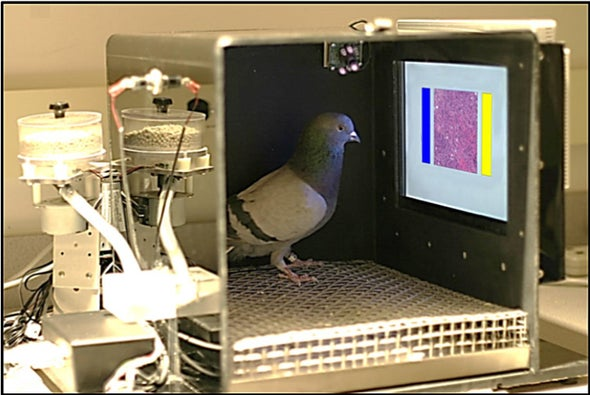 Using Pigeons to Diagnose Cancer