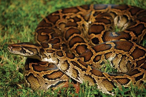 Burmese Pythons in the Everglades Display Unusual Navigational Abilities