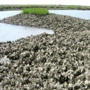 On the Rebound, New England Oysters Face Climate Change Threat