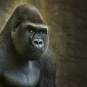 Animal Intelligence and the Evolution of the Human Mind
